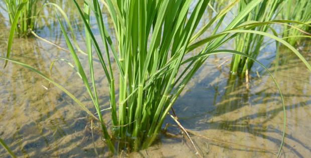農の魂を込めて育てられたお米(コシヒカリ)です。